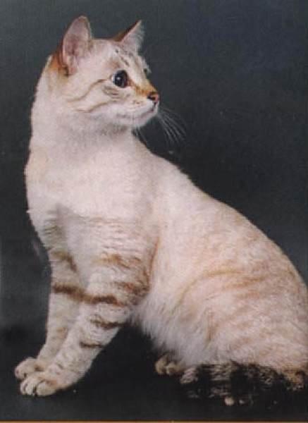 тайские кошки картинки